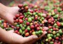 Exportaciones de café ascienden a 8.5 millones de sacos